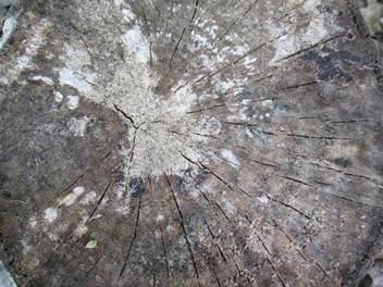 Фото: вторая – довольно сложная стадия поражения древесины плесневым грибком.