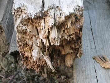 Фото: четвертая – окончательная стадия разрушения древесины под действием грибков – вредителей.